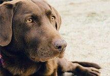 perros detectan cáncer