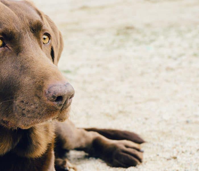 Los perros pueden detectar el cáncer en personas